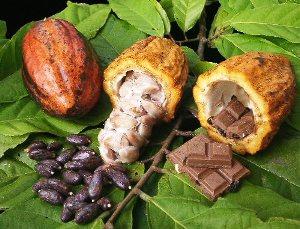 cacao mazorca Tabasco